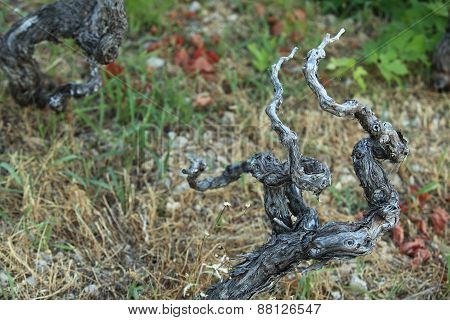 The Dried-up Grapevine