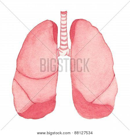 Watercolor realistic human lungs on the white background, aquarelle.  Vector illustration.