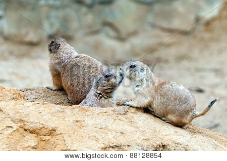Black-tailed Prairie Dogs