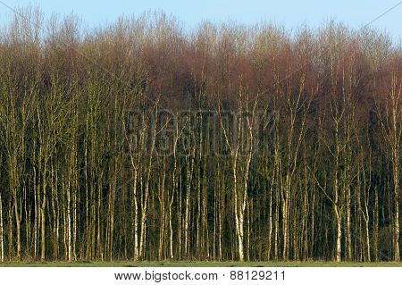 Birch trees forest.