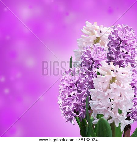 Pink And Violet Hyacinth