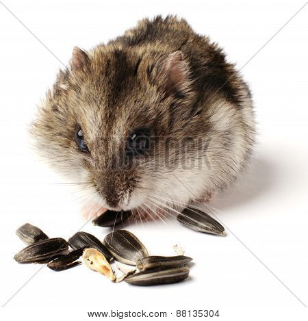 greedy little hamster