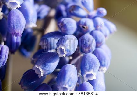 Marco Of Grape Hyacinth Purple Flower Plant