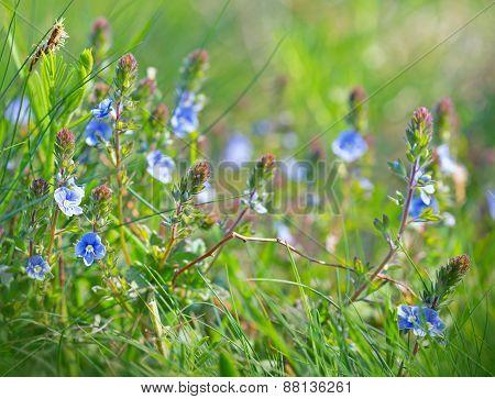 Spring flower - little blue flowers