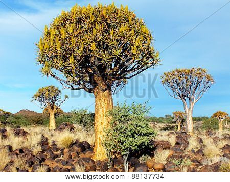 Quiver Tree Forest, Late Afternoon, Close to Keetmanshoop, Namibia
