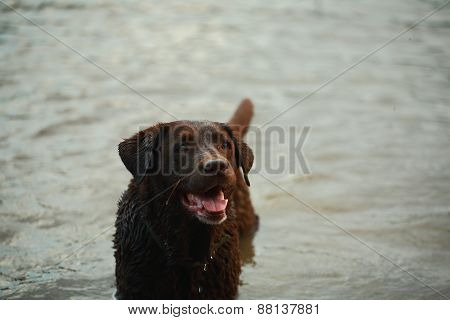 Wet Chocolate Labrador Retriever