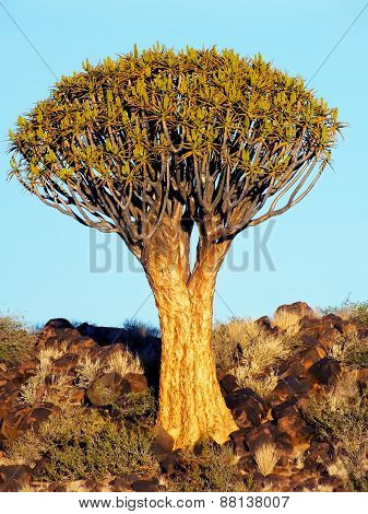 Quiver Tree on a Rocky Hill, outside Keetmanshoop, Namibia