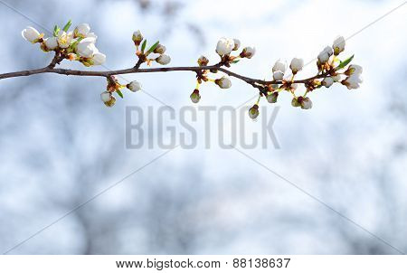 Sprig of fruit tree on sky background.