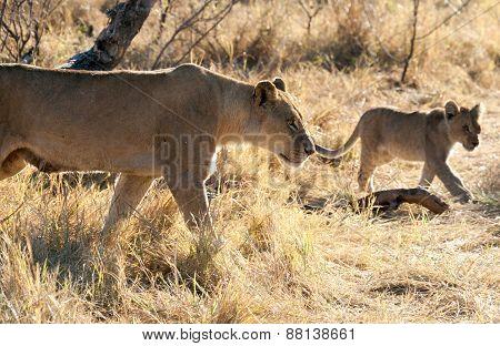 Lions, Botswana