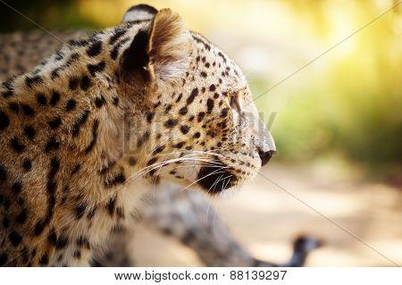 Leopard Head Close Up