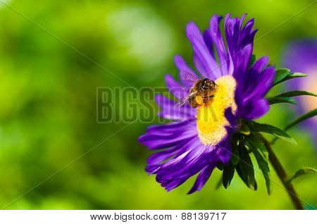 Bee Sits On Astra