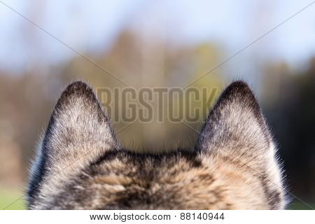 Ears closeup of Siberian Husky.