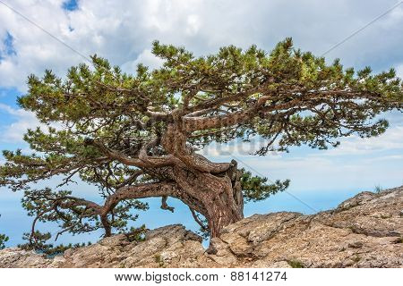 Relict Pine Tree In The Crimean Mountains.