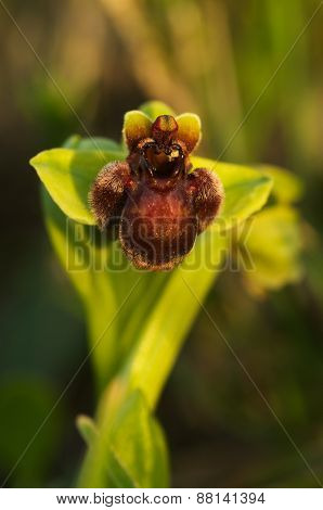 Wild Bumblebee Orchid - Ophrys Bombyliflora