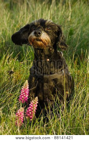 Small Black Dog Sat Down In Wild Grass