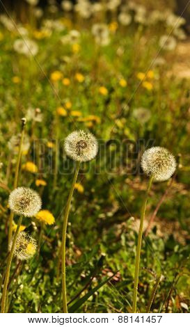 Dandelion Field - Taraxacum Sp