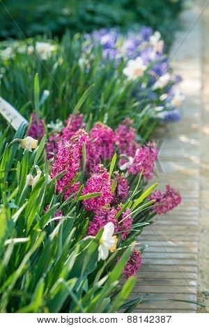Hyacinths flowers