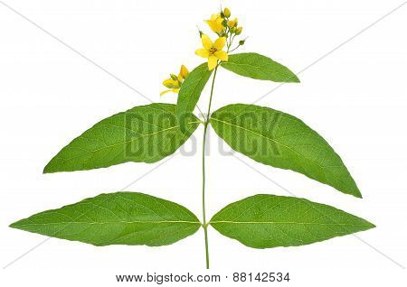 Lysimachia Flower White Background
