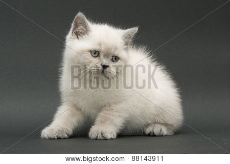 Nice Cute British Kitten