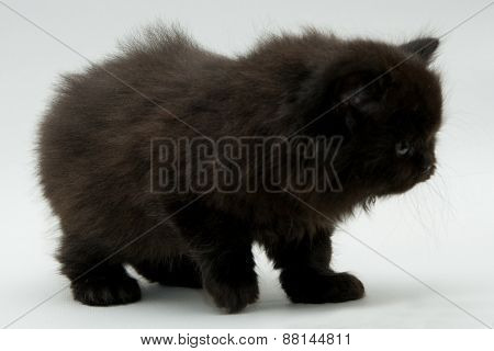 Nice Cute Black British Kitten