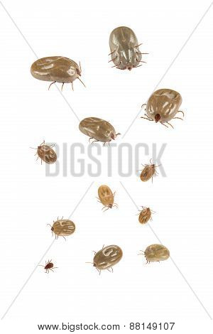 Ticks Isolated On White Background