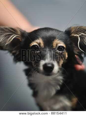 stroking the toy terrier dog