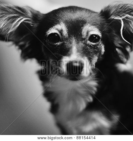 the toy terrier dog