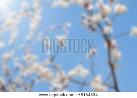 blurred white spring apricot flowers