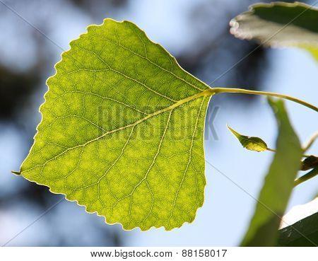 Green Tree Leaf Backlit