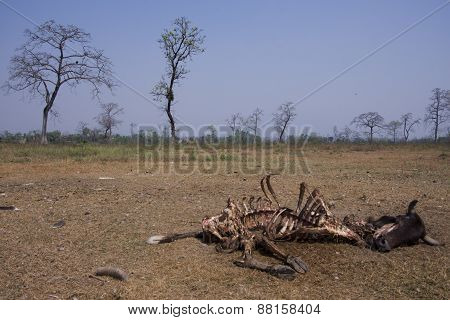 rotting cow corpse eaten by vultures, Lumbini, Nepal