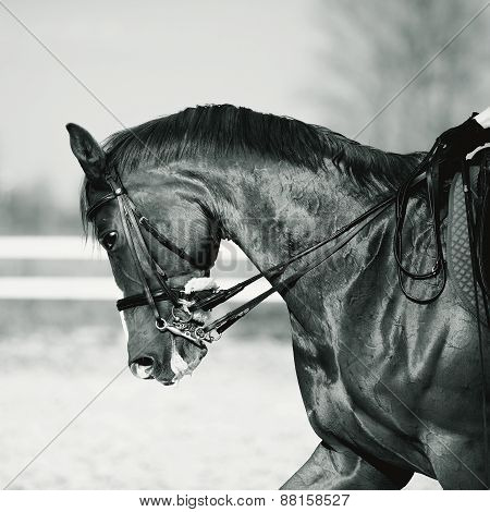 Black-and-white Portrait Of A Sports Horse.