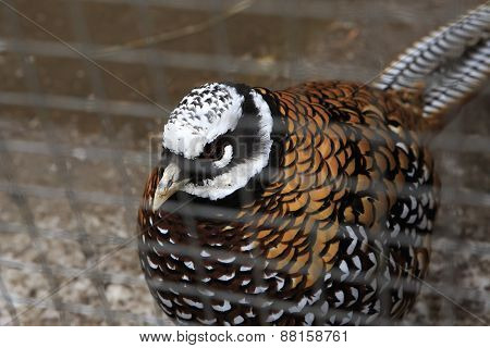 Royal pheasant in the cell.