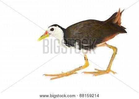 White-breasted Waterhen Bird