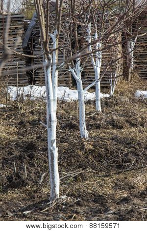 Spring Whitewashing Of Young Apple Trees In The Garden