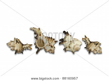 Group white shells with brown and orange growths