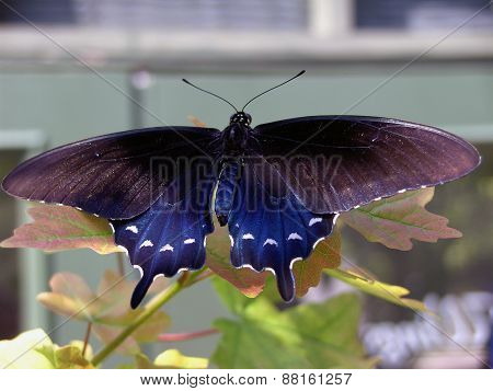 A Large Blue Butterfly on a Leaf