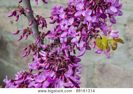 Purple flowers on Judas Tree