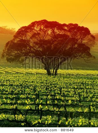 Large Tree In Vineyard
