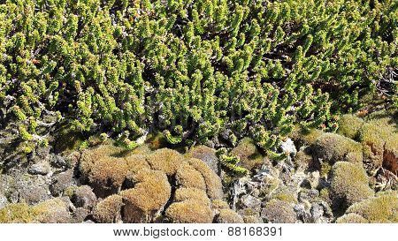 Sprouts Of The Crowberry And Moss At A Dune On Sylt