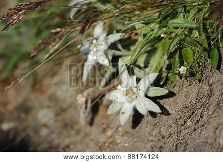Edelweiss in Hohe Tauern National Park Austria