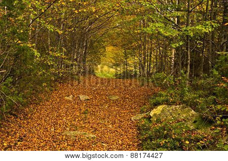 A lot of fallen leaves along forest mountain road at autumn, Radocelo mountain