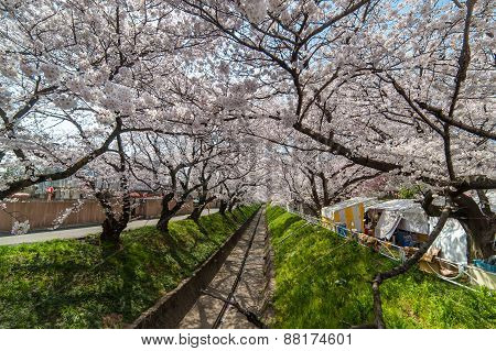 Sakura Tunnel