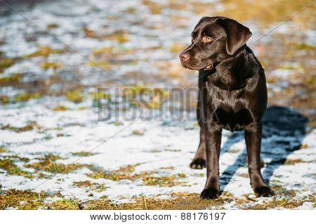 Beautiful Brown Dog Lab Labrador Retriever