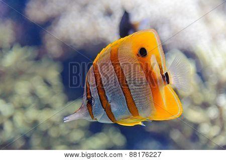 Copperband butterflyfish (Chelmon rostratus) in Oceanopolis Brest