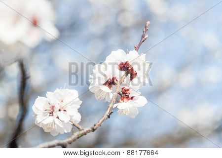 first apricot flowers