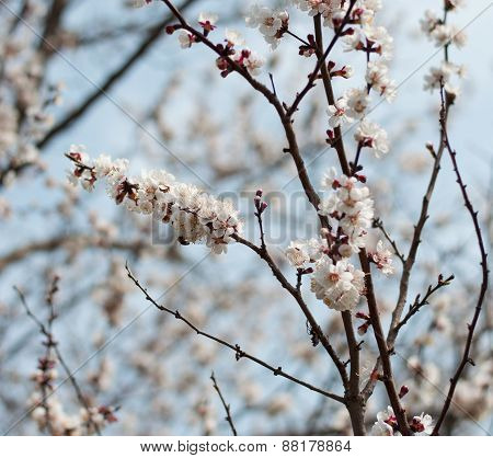 The Blossoming Apricot Tree Branches, Close Up, Against The Blue Sky