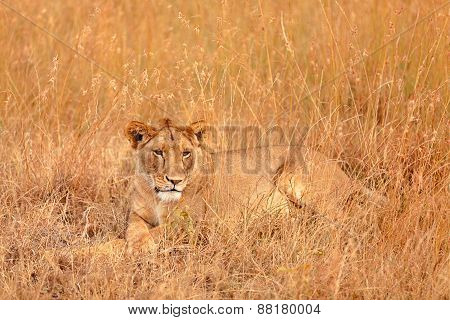 Female Lion In Masai Mara