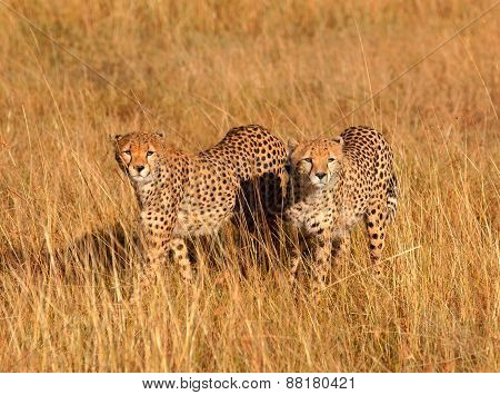 Male Cheetahs In Masai Mara