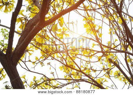 Golden tree, Yellow pui