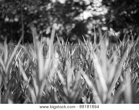 Fresh Green Grass In The Park In Black And White Mode